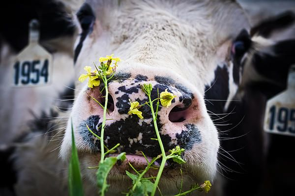 Flowers For Lunch Photograph by Priya Ghose - Flowers For Lunch Fine Art Prints and Posters for Sale. - A black and white dairy cow happily munches on yellow wild radish flowers near Point Reyes, California. #cows #ranch #farm
