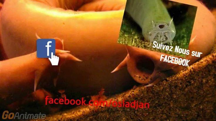 Pacific hagfish/Les myxines/Eptatretus stoutii Pacific hagfishs feed on the corpses of marine animals that drift to the bottom of the ocean, burrowing inside the bodies and eating them from the inside. C'est un animal de la famille des Lamproies. C'est une des anguilles primitives, les myxines et se trouvent généralement sur le fond vaseux.  http://aime.animauxzoogranby.ca/profile/Pacific-hagfish