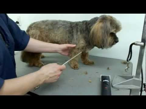 Grooming a Lhasa Apso Cross