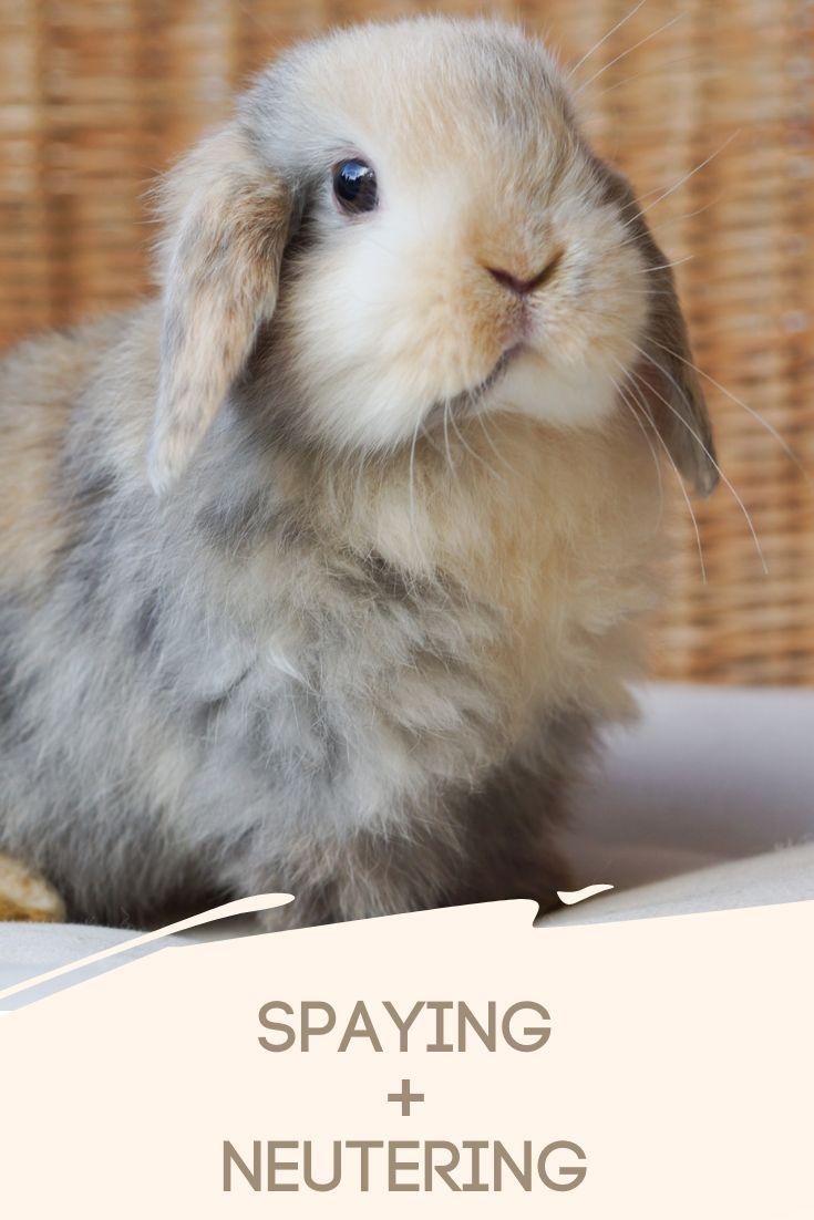 Spaying neutering your rabbit rabbit care pet rabbit