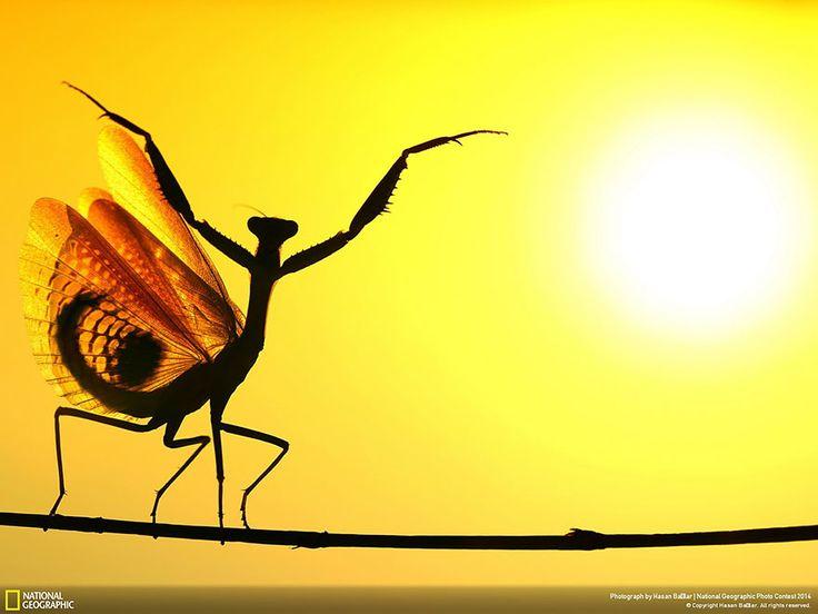 "Sunward (Nicosia, Cyprus) ""When the Mediterrenean Mantis opened its wings, It seemed very impressive at the sunshine…"" (Photo credits: Hasan Baglar)"