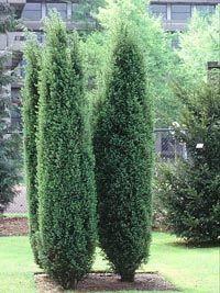 Chamaecyparis lawsoniana 'Ellwoods Pillar'