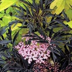 Sambucus 'Black Lace' - Elderberries.  European Elderberry.  Must have for garden in final home.