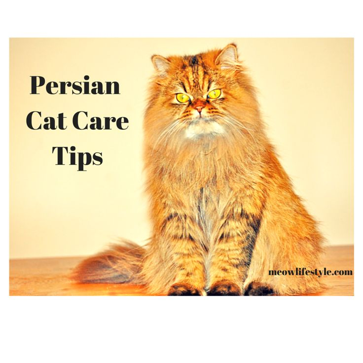 How to take care of pregnant persian cat