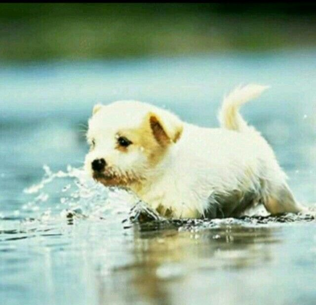 Cute puppy running in water