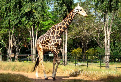 Mysore Zoo - Giraffe