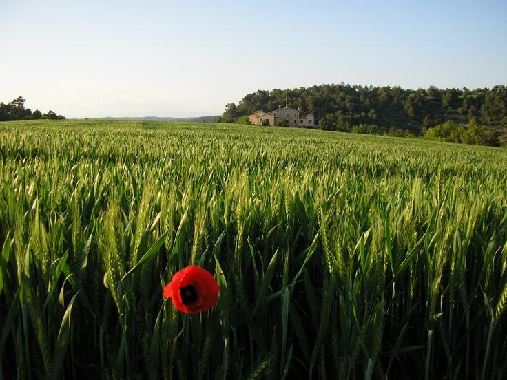 Camp de cereal verd, Cal Ros a Calonge de Segarra, Catalunya.
