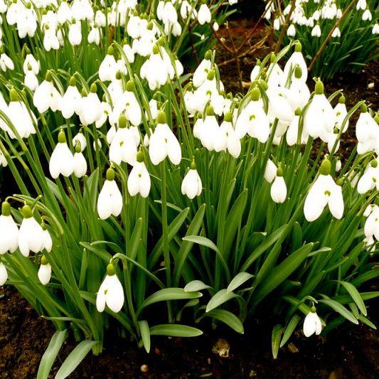 Bulb nursery, bulbs for sale. Crocus, Narcissus, Rare bulbs,Galanthus, Mail order plants.Rare bulbs. Trilliums. Arisaema,Uvularia,Hosta,convallaria, cyclemin