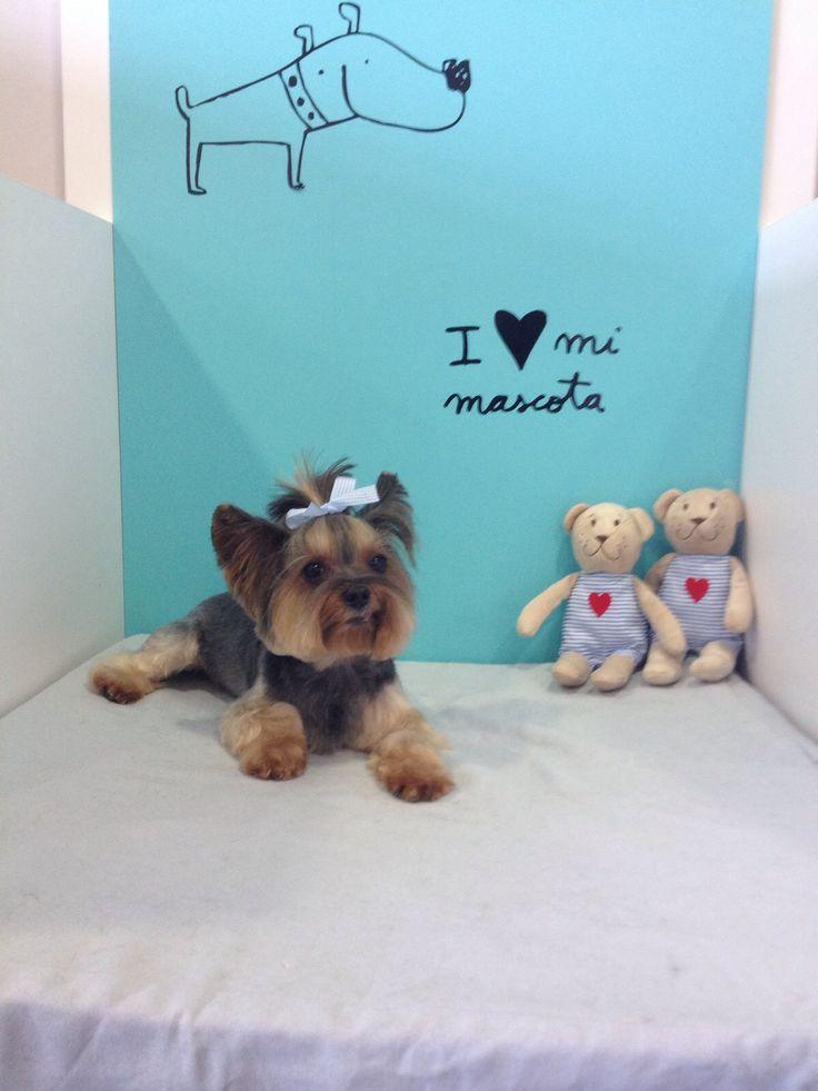 Gus, después de pasar por la #peluqueria Dog's Affaire. Tu peluqueria canina en Alicante.