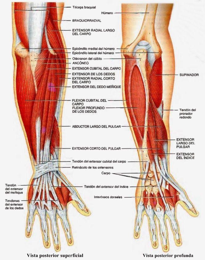 Musculos Del Miembro Superior Y Los Movimientos Que Realizan
