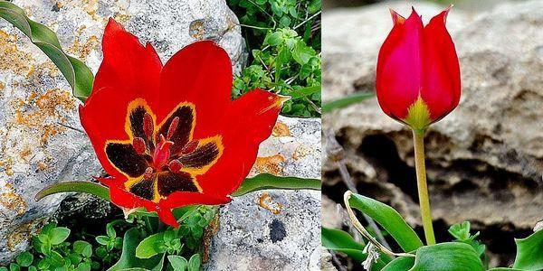 In Salento ritrovati i rari tulipani rossi di Taurisano che incantarono l'Olanda