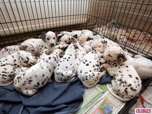 A family have found themselves caring for 15 puppies after their pet dalmatian had an extra large litter at their home in Ammanford, UK.