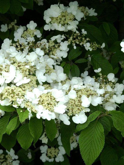 Viburnum plicatum tomentosum - Filziger Schneeball  Mit dem etagenförmigen Aufbau der waagerecht abstehenden Seitenäste erinnert dieser japanische Schneeball an die Architektur asiatischer Pagoden. Im Mai und Juni legen sich die weißen...