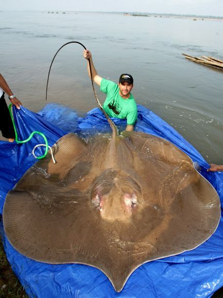 Giant FRESH-WATER Stingray!  Awesome.