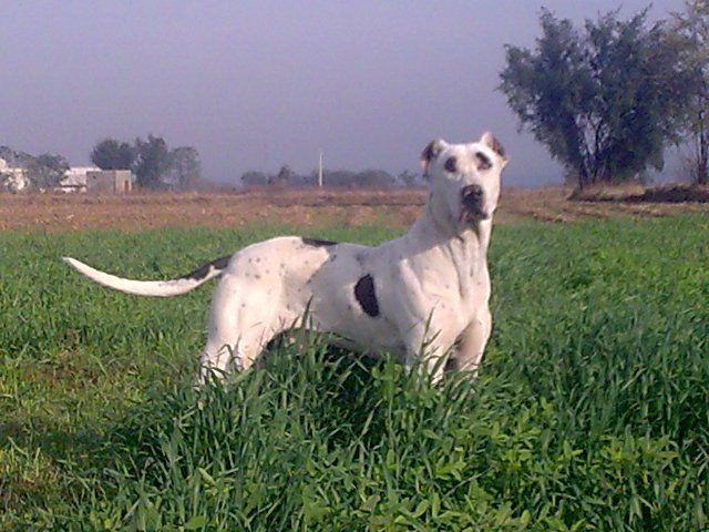 pakistani mastiff - photo #10