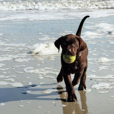 awhhh baby :): At The Beaches, Chocolate Labs, Labrador Chocolates, Plays, Chocolates Labrador Puppies, Labs Puppies, Beaches Puppies, Chocolates Labs, Tennis Ball