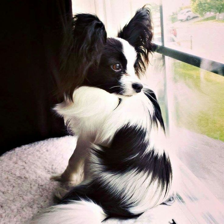 Beautiful Papillon...                                                       …