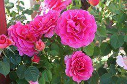Hybrid tea rose - http://www.growplants.org/growing/hybrid-tea-rose learn how 2 grow
