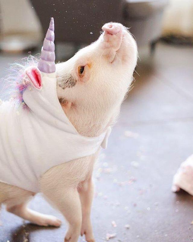 A uni-pig!??!! 😍 @hamlet_the_piggy is pure magic ✨🦄