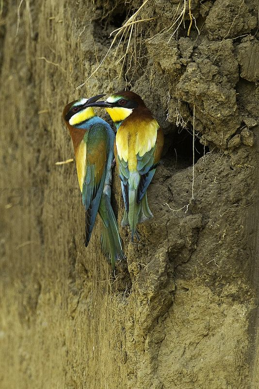 A pair of European Bee-eater checking nest-hole, Hortobagy, Hungary
