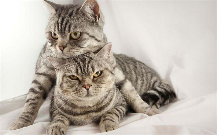 Hämta bilder American Bobtail katt, 4k, grå katt, husdjur, söta djur, två katter