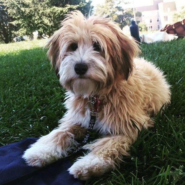 1000 Ideas About Wheaten Terrier On Pinterest Terriers