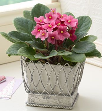 African Violet Plants, How To Grow, Violet Care, African Violet Vood