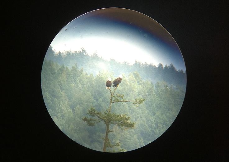 Island eagles....