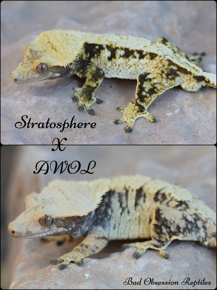 For Sale Variety of Crested Geckos! - FaunaClassifieds