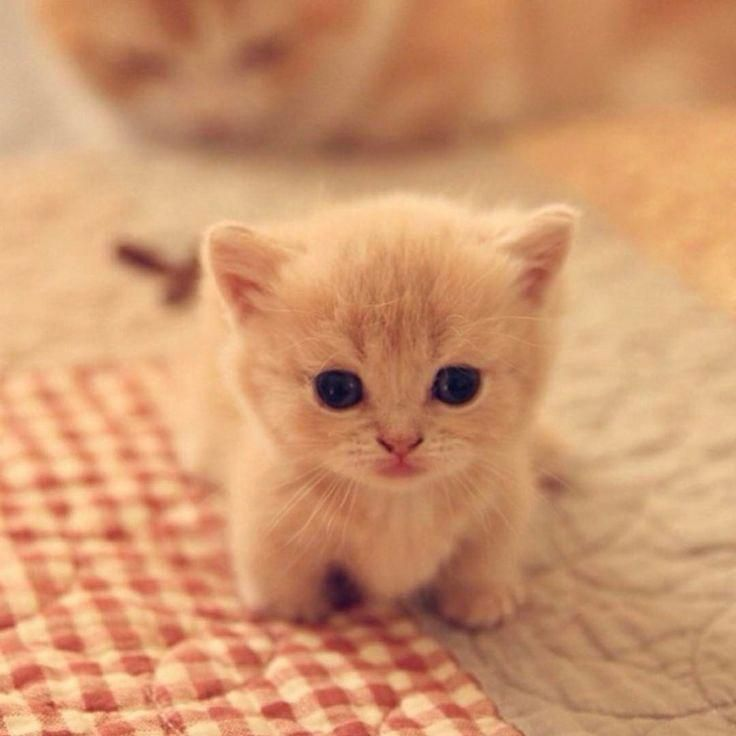 Cute Animals To Draw When Your Bored Adorable Siberian Kittens For Sale Cute Cats Cute Baby Cats Cute Animals