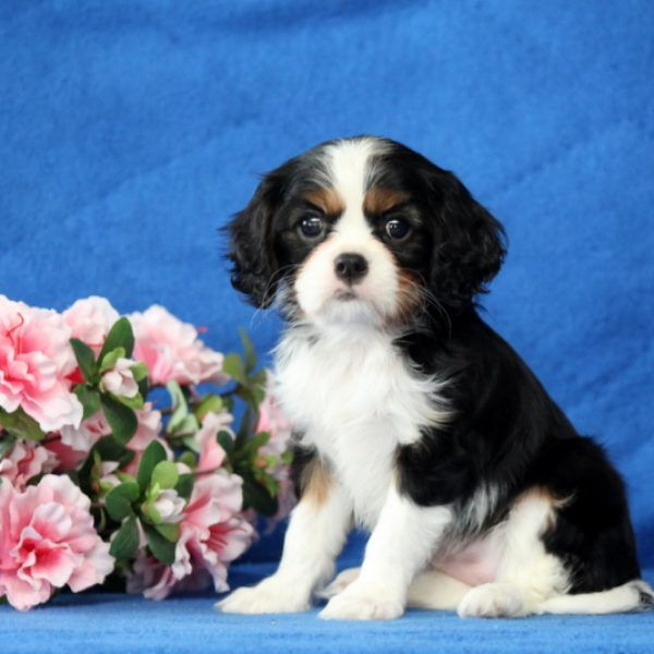 Elsie Cavalier King Charles Spaniel Puppy For Sale In