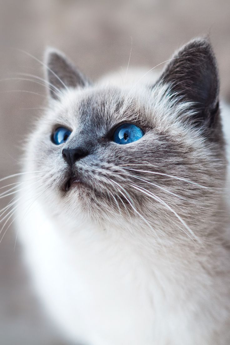 Beautiful Fluffy Cat With Blue Eyes Cat With Blue Eyes Beautiful Cats Cute Animals