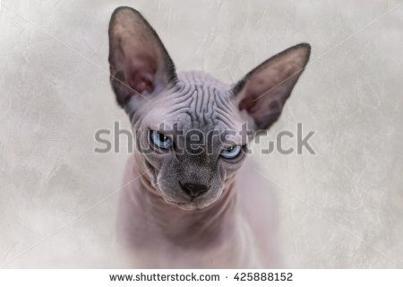 The Canadian Sphynx cat portrait