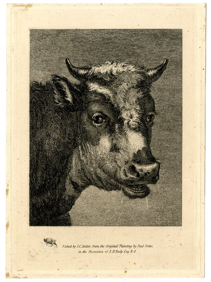 Head of a horned cow, directed to right, head turned towards the viewer with mouth slightly open. Etching on chine collé. After: Paulus Potter, print made by: John Christian Zeitter. British, date 1824-1860.