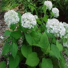 "Hydrangea arborescens ""annabelle' will tolerate north facing garden. Cut back to ground if it does not die back itself."