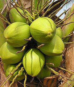 Knowledge Based Information on Coconut :: Planting Seasons & Climate