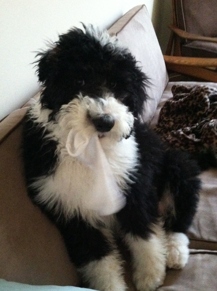 17 Best Images About Sheepadoodle On Pinterest Sheep