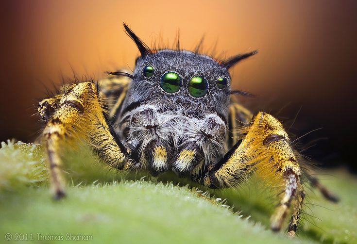 Макро фотография взрослого паука-попрыгунчика на закате.