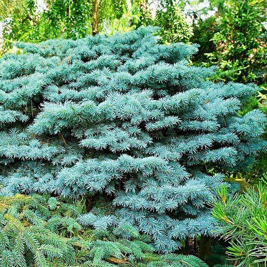 Best 25 Blue Spruce Ideas On Pinterest Landscaping