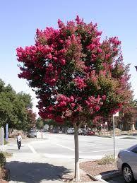 Lagerstroemia indica - Resedá, Extremosa - arvoreta que não possui raízes agressivas, além de ter um belo florescimento. Devem ser cultivadas sob sol pleno em solo fértil. 3 a 9m de altura.