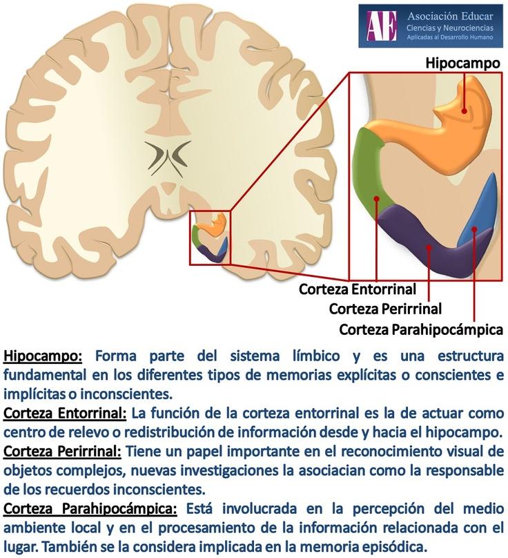 Ilustracion Neurociencias:  Hipocampo - Asociación Educar Ciencias y Neurociencias aplicadas al Desarrollo Humano  www.asociacioneducar.com
