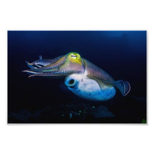 This beautiful photo print shows a cuttlefish displaying a variety of colors. The photo was taken during a dive on Australia's Great Barrier Reef. #ocean #sea #nature #coral #reef  #coralsea #greatbarrierreef #cuttlefish