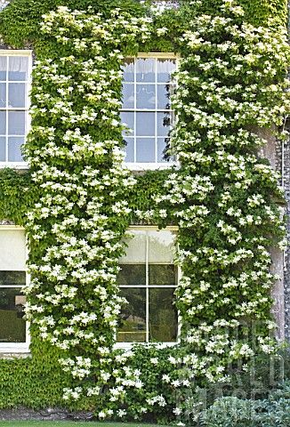 Hydrangea Petiolaris White Hydrangea Garden Hydrangea