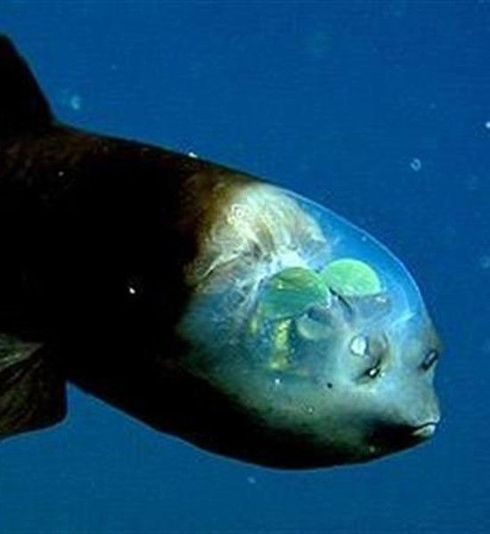 1000 Images About Deep Sea Life On Pinterest Ocean Life
