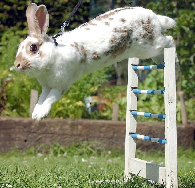 "Danish Rabbit Jumping competitions  called ""Kaninhop"""