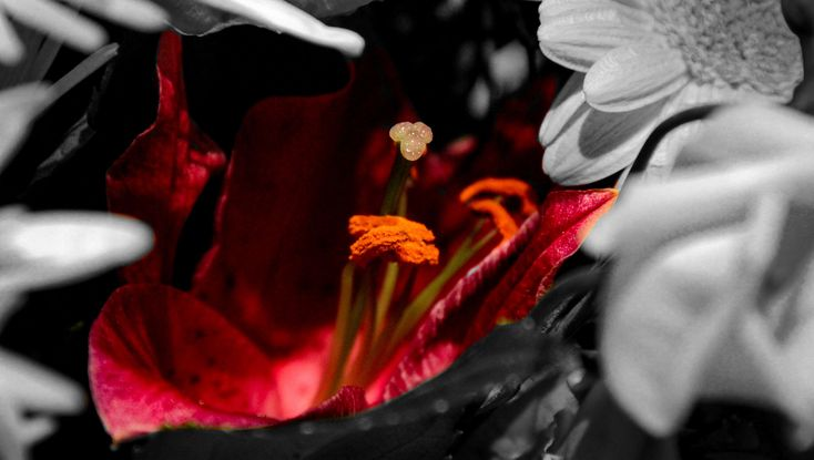 #anthers #black and white #lily flower #petals #red #stigma