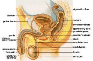 Cowpers kjertel/ bulbourethral gland. Homolog til kvinnens Bartholins-kjertel. To eksokrine kjertler som ligger like under prostataen. Kjertel produserer en væske som rengjør urinrøret ved å fjerne gammel sæd som har blitt igjen etter siste ejakulasjon, urin og annet smuss; lubrikerer og nøytraliserer syre i urinen. Væsken utgjør mindre enn fem prosent av sædvæskevolumet. Kjertelen er på størrelse med en ert.