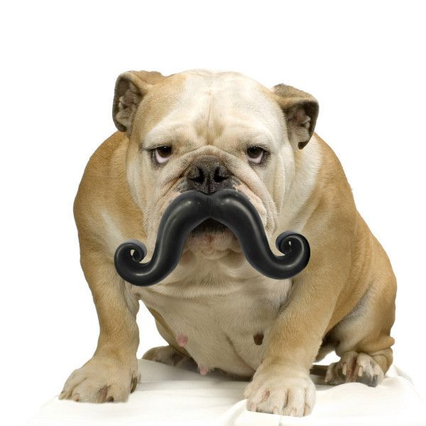 Humunga Stache // $24.99 // Make interacting with your pup fun for everyone! This award-winning, high quality fetch toy gives your pup a hysterical handlebar moustache as they retrieve it.