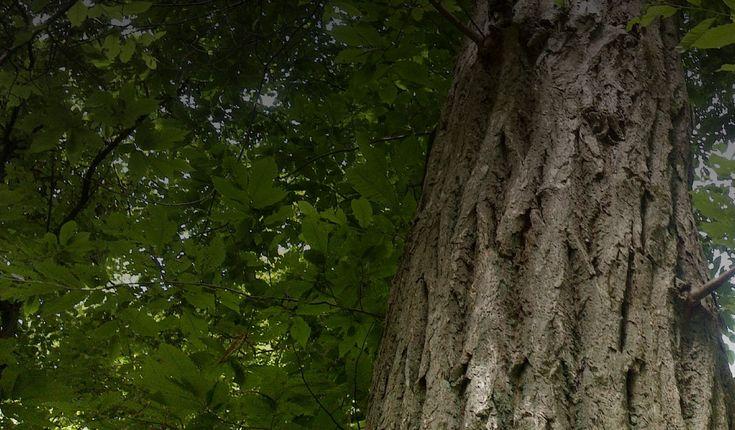 Saving the American Chestnut Tree | The American Chestnut Foundation