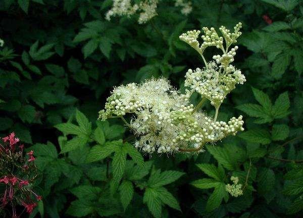 Wiązówka błotna Filipendula ulmaria - Rośliny wodne, Lilie wodne | Sklep
